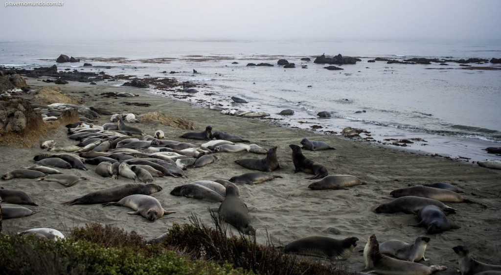 elephant-seal-beach-san-simion